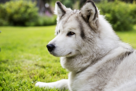 paw smart: With white fur dog peacefully lay at garden