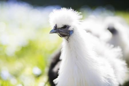 alumnos en clase: Pollo blanco se ve en el lado