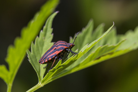 tarsus: Black and red coloured bug in the nature Stock Photo