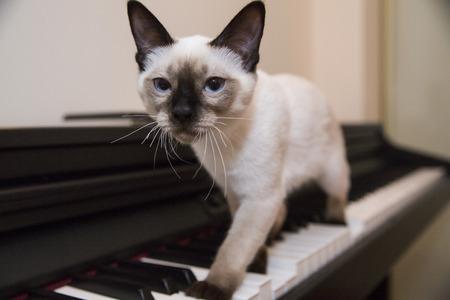 struts: Siamese looking little cat struts with grace