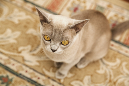 paw smart: Yellow-eyed exotic cat sitting on the floor