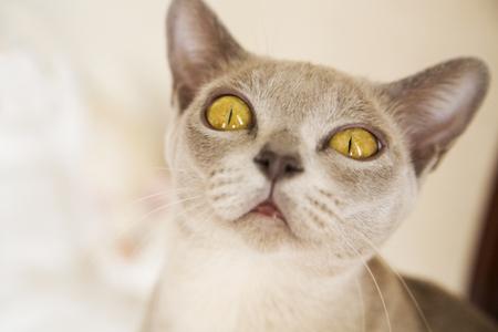 hunter playful: Close-up picture of young Burmese cat face Stock Photo