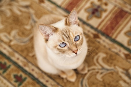 paw smart: Beige Mekong cat on the soft carpet