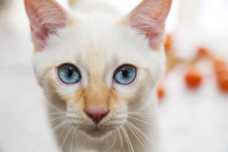 paw smart: Blue-eyed cat looking directly at the camera Stock Photo
