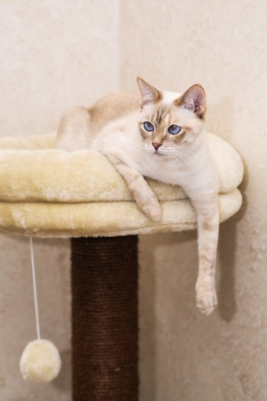 paw smart: Grown up female white Mekong bobtail cat