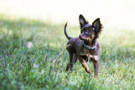 toy terrier: Toy terrier is about to run forward