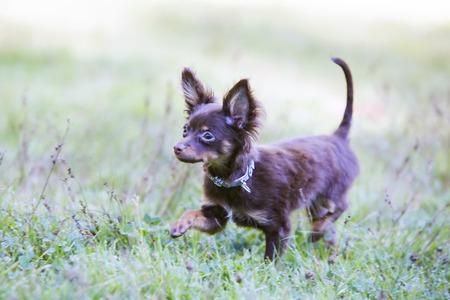 hunter playful: Little playful pet hunter spotted his prey Stock Photo
