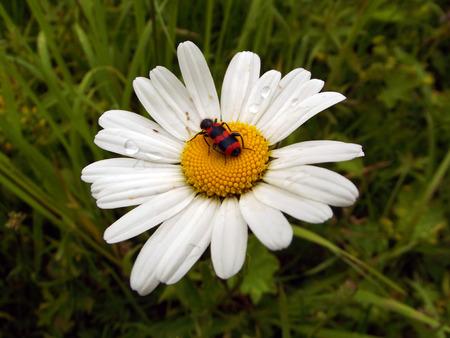 daisywheel: bug on daisywheel