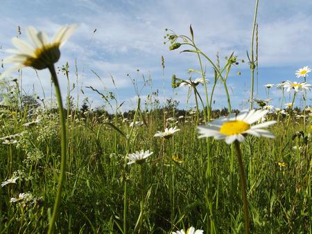 daisywheel: field with daisywheel