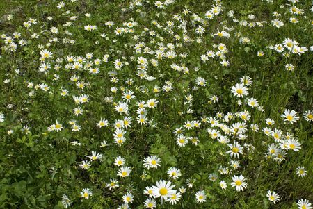 daisywheel: flowerses of the daisywheel on background of the green herb