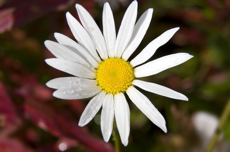 daisy on a background of red and green Stock Photo - 7802241
