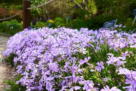 A bunch of violet Phlox subulata in Pyunggang Botanical Garden in Pocheon, South Korea. Stock Photo
