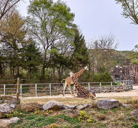 Two giraffes at a zoo looking at the tourists passing by at a zoo.