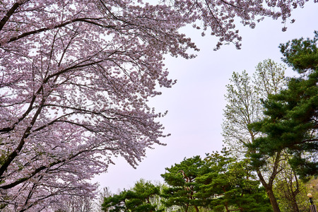 The pink of cherry blossom tree on the left and the greens of a pine tree on the right.