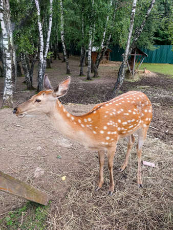A female sika deer (Cervus nipon) with a characteristic color in a closed reserve. Keeping deer and wild animals in captivity. Other name Japanese deer Editorial