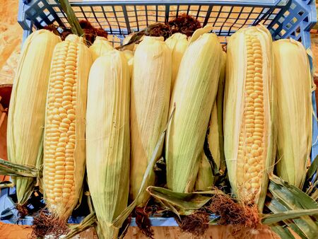 Uncleaned ears of corn in a blue plastic box at a farmers market. Corn is used as livestock feed, as human food, as biofuel, and as raw material in industry. Agricultural products. Top view.