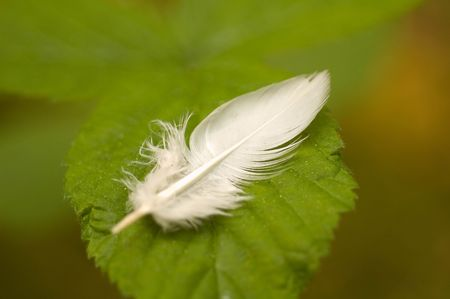 pluma blanca: White feather