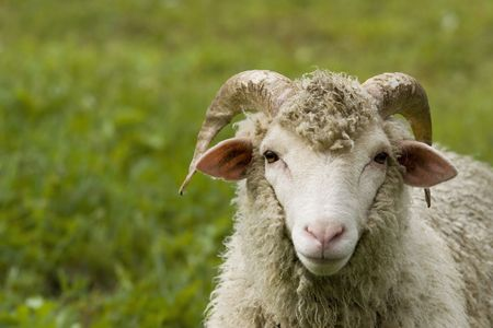 ovine: the wether - portrait