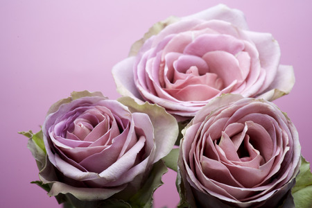 purple rose: close up of purple rose petals