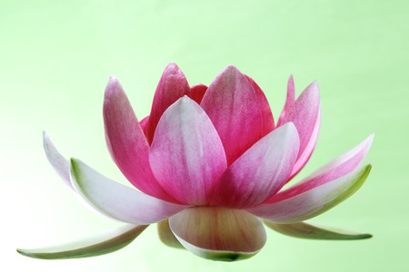 water lily: Water lily, lotus on green background Stock Photo