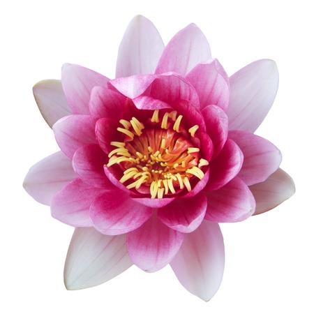 Pink Lotus Blume Isoliert Auf Weißem Hintergrund Lizenzfreie Fotos ...