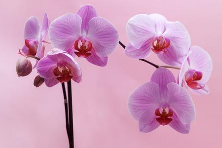 orchidee: bellissimo fiore di orchidea rosa su sfondo rosa