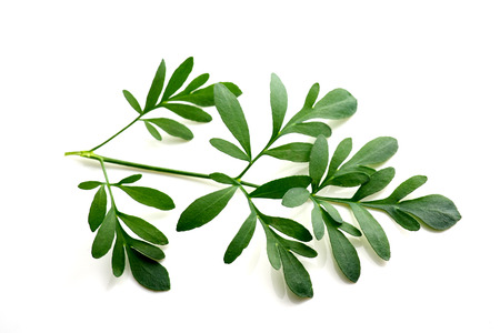 virginity: Rue branch isolated on white. Lithuanian traditional plant, a symbol of virginity Stock Photo