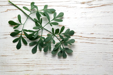 rue: Rue herb plant. Lithuanian traditional plant, a symbol of virginity Stock Photo