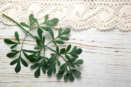 ruta: Rue herb plant. Lithuanian traditional plant, a symbol of virginity Stock Photo