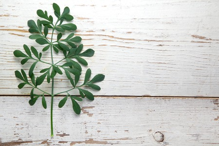 rutaceae: Rue herb plant. Lithuanian traditional plant, a symbol of virginity Stock Photo