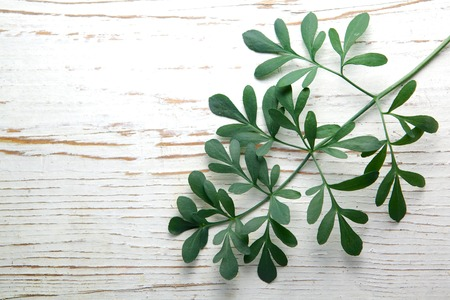 virginity: Rue herb plant. Lithuanian traditional plant, a symbol of virginity Stock Photo