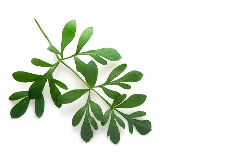 rue: Rue branch isolated on white. Lithuanian traditional plant, a symbol of virginity Stock Photo