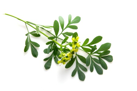Rue branch isolated on white. Lithuanian traditional plant, a symbol of virginity Stock Photo