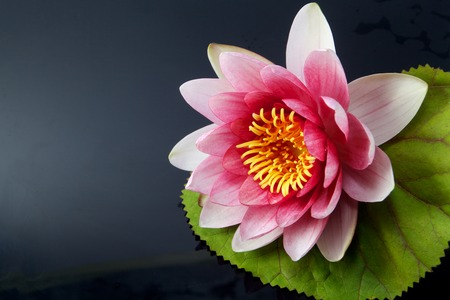 hydrophyte: water lily, lotus on black background