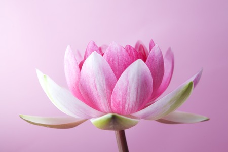 hydrophyte: water lily, lotus on pink background