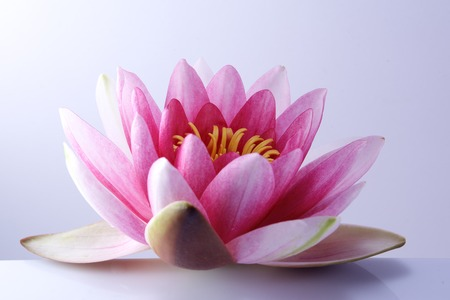 hydrophyte: water lily, lotus on light pastel background