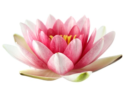 Lotus or water lily isolated on wite