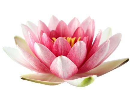 jardines con flores: Lotus o lirio de agua aislados en wite Foto de archivo