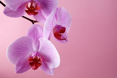 orchidee: Fiori di orchidea rosa su uno sfondo pastello. Sfondo rosa orchidea.
