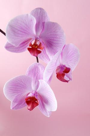 flores moradas: Flores de las orqu�deas rosadas en un fondo en colores pastel. Fondo rosado de la orqu�dea.