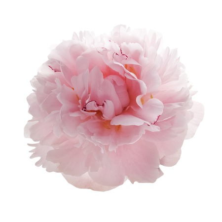 beautiful pink peony flower isolated on white background