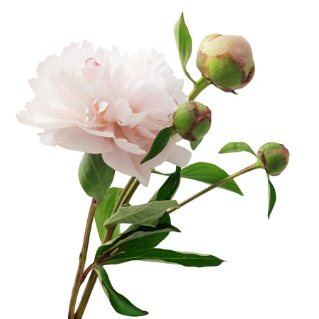 subtlety: Bouquet of pink peonies isolated on white background Stock Photo