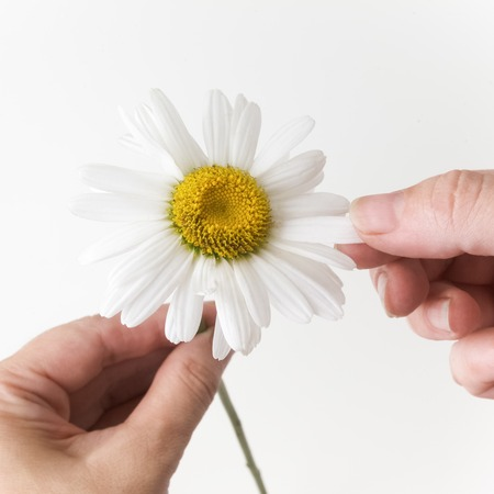 loves: loves or not loves me, plucking off the petals of a chamomile. Bright background Stock Photo