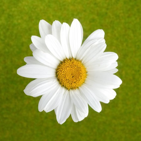 chamomile flower: Chamomile flower on green background. Top view Stock Photo