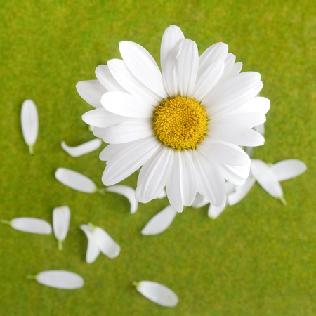 love or does not love me, plucked daisy with petals on green grass background Stock Photo