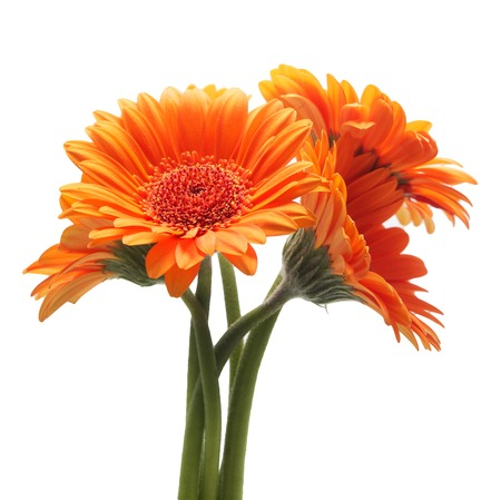 Orange gerbera flowers isolated on a white background