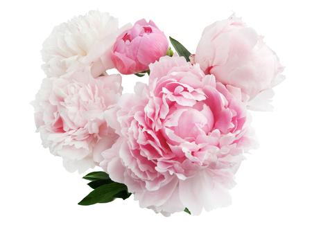 flor rosada peonía aislada en el fondo blanco