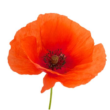화이트 절연 밝은 빨간 양 귀 비 꽃