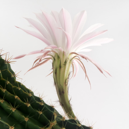 macro shot of a beautiful light pink blooming cactus flower on white