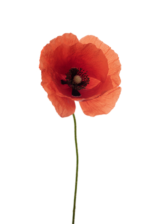 bright red poppy flower isolated on white